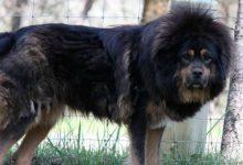 Un Tribunal ordena cortar cuerdas vocales a perros por ladrar mucho