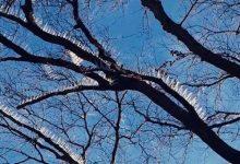 Insólito. Púas artificiales en los árboles proteger sus autos caros.