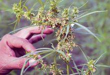 El cultivo cannábico ya tiene reglamento