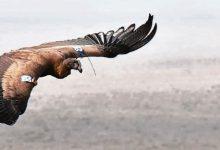 Seis cóndores regresaron a la naturaleza desde Pailemán