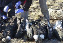 Seis cóndores murieron envenenados con un agrotóxico prohibido
